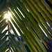 Sunrise shining trough palm leaves