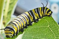 DSCF7917FW (jnancejr) Tags: bugs macro insects beetle caterpillar