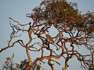 White-bellied Sea-eagle & Brown Goshawk