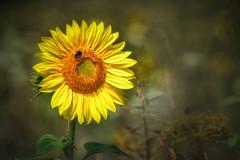 More Sunflowers please! (Claudia G. Kukulka) Tags: flower blume sunflower sonnenblume bumblebee hummel bombus petals blumenblätter