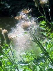 Fluffy Seeds (Quetzalcoatl002) Tags: seeds procreation flowers summer