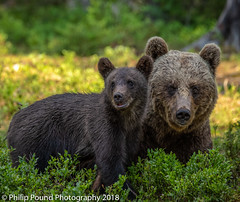 Mother bear and cub (Philip Pound Photography) Tags: brownbear bear mother bearcub cub brownbearcub animal wildlife nature mammal fur finland forest woods