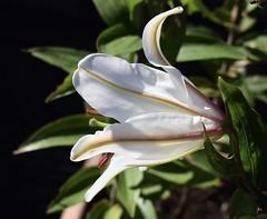 Lily #3 (MJ Harbey) Tags: flower plant lily lilium whitelily stigma stamens nikon d3300 nikond3300 garden liliaceae