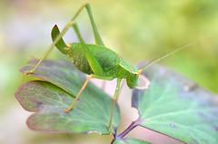 Speckled Bush Cricket (Doolallyally) Tags: speckledbushcricket cricket insect devon england