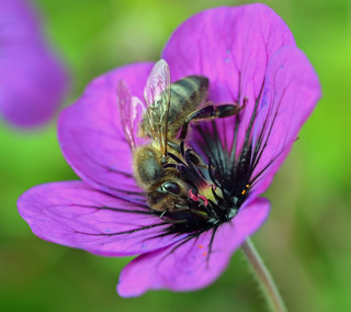 Honey bee on Geranium 'Anne Thomson'
