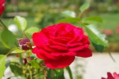 JLF17954 (jlfaurie) Tags: jardin garden bagatelle paris france francia parc parque 22072018 mpmdf jlfr jlfaurie mechas roseraie fleurs roses rosas