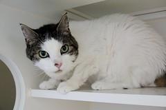 Amelia 13 (Phil Rose) Tags: fauna whatcomehumanesociety whs cats cat feline