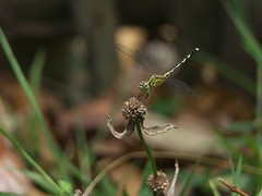 Anisoptera (Pierre Borra) Tags: nature insect dragonfly macroshot
