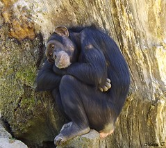 """Chimpancé común de Africa central (MarisaTárraga) Tags: """"fujifilmsl300"""" nature naturaleza """"chimpancedeafricacentral"""" animal mono zoo bioparc valencia spain españa"""