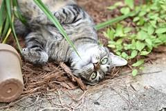 Camille, garden companion (rootcrop54) Tags: camille female mackerel tabby tiger striped garden friend companion cat neko macska kedi 猫 kočka kissa γάτα köttur kucing gatto 고양이 kaķis katė katt katze katzen kot кошка mačka gatos maček kitteh chat ネコ