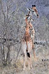 Keep reaching junior! (pstone646) Tags: giraffe pair nature two baby animal africa wildlife feeding fauna safari southafrica mammal