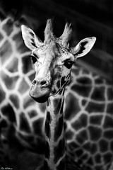 Giraffe (PeteWPhotography) Tags: giraffe young face background detail eye cute