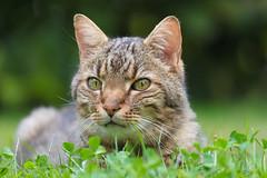 Gizmo the Cat (Role Bigler) Tags: 400mm canon canoneos5dsr ef100400lisusm emmental highiso katze llens natur nature schweiz suisse switzerland animal bokeh bokehlicious cat lowpov raubtier tele tier