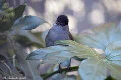 Capinera _003 (Rolando CRINITI) Tags: capinera uccelli uccello birds ornitologia arenzano natura