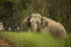 Big Mamma, watching every move (varmarohit) Tags: elephant dudhwa indianforest rohit rohitvarma naturephotography wildlifephotography wilderness wildlifephotograph wildindia wildlife