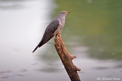 Cuculo _002 (Rolando CRINITI) Tags: cuculo uccelli uccello birds ornitologia santalbanostura natura