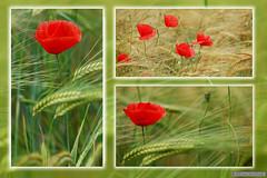 Coquelicot (Jourdheuil Clément) Tags: familledespapaveraceae coquelicot champdeblé nature rouge planteherbacéeannuelle nikond90 sigma105mm clémentjourdheuil offemont pavotdeschamps pavotsauvage france