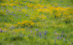 Yellow and Blue on the Prairie (Jim Frazier) Tags: 2018 201807montana 201807montanagreatfallssmithriver abstract background bloom blooming blossoms blue blurred desktop flora floral flowering flowers grasslands greatfalls jimfraziercom july meadows millegan mountains natural nature plants powerpoint prairie q3 rockymountains summer vacation wallpaper wildflowers yellow intentionally intentionallyblurred f10 fastpictures