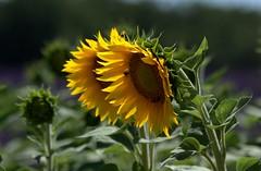 Sun brothers (chriskatsie) Tags: sunflower flower provence fleur tournesol verdon valensole lavande lavender