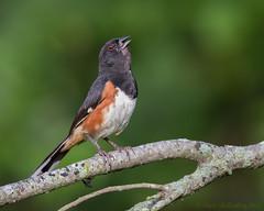 Eastern Towhee (Matt Shellenberg) Tags: bird branch eastern towhee easterntowhee illinois nature wildlife sparrow matt shellenberg