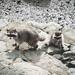Racoons - Waschbären