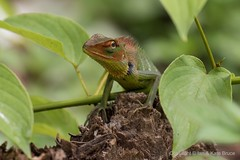 A Knowing Look from the Forest Lizard (Ian.Kate.Bruce's Wildlife) Tags: commongreenforestlizard calotescalotes agamidae lizard reptile wildlife nature ianbruce katebruce srilanka kitulgala