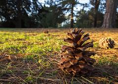 (Laszlo Papinot) Tags: werribeepark cone pine pinecone evening sunset