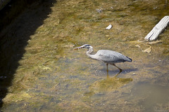 Predator (Kunal Baweja) Tags: tour tourism tourist ecotourism worldtour travel worldtravel trip canon daylight usa unitedstates bird birds birdfeeding birdsofprey predator