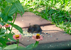 Rat! (M.P.N.texan) Tags: rat vermin pest unwelcome animal