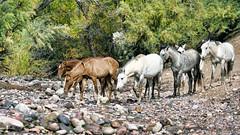 We Herd (VGPhotoz) Tags: vgphotoz horses wildhorses horsesofarizona arizona nature natural usa herdofhorses weheardofyou walkinginthewild riveredge western wildwest photography naturephotography poster desert northamerica