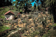 Seaside garden (Melissa Maples) Tags: batumi batum ბათუმი adjara აჭარა georgia gürcistan sakartvelo საქართველო asia 土耳其 apple iphone iphonex cameraphone მწვანეკეპი mtsvanecape ბოტანიკურიბაღი botanicalgarden house rosegarden roses