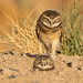Burrowing owl chicks (Wendy E. Miller) Tags: