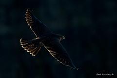 Back lit (Earl Reinink) Tags: falcon raptor peregrinefalcon earlreinink eiieididza