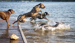three dogs leap into the lake (ken_scar) Tags: clemsonuniversity clemson southcarolina clemsontigers highereducation college collegelife campuslife collegephoto clemsonphoto