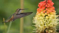 Hummy (photosauraus rex) Tags: hummingbird rufous bird vancouver bc canada