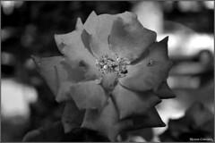 Flor Foto Marcus Cabaleiro Site: https://marcuscabaleirophoto.wixsite.com/photos  Blog http://marcuscabaleiro.blogspot.com.br/  #marcuscabaleiro #santos #sp #brasil #flor #pb #photographer #brazil #photography #close #detalhe #flower #fotografia #nikon (@marcuscabaleiro) Tags: brazil detalhe brasil fotografia flower nikon pb marcuscabaleiro flor photographer sp close photography santos