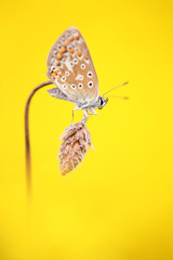 Common blue (Mike Mckenzie8) Tags: polyommatus icarus butterfly insect macro 5div sigma 180mm yellow