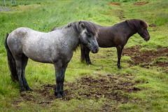 Icelandic Horses (Mustang Joe) Tags: nikon 2018 cruise d750 horse icelandic iceland grey gray brown