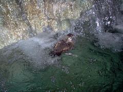 Duck (Adventurer Dustin Holmes) Tags: 2005 wondersofwildlife springfield indoor springfieldmo missouri greenecounty ozarks water duck animal bird swimming