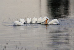 Pelicans of Yellowstone (Ray .) Tags: yellowstonenationalpark wyoming pelicans pelicansofyellowstonenationalparkusa