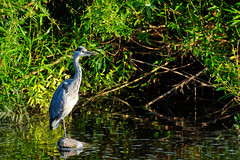 The Fish were Jumping (scottprice16) Tags: england lancashire river riverribble ribblevalley summer morning july 2018 wildlife heron grey ardeacinerea fishing concentration colour riverbank animals canon canong3x walk fish sunlight