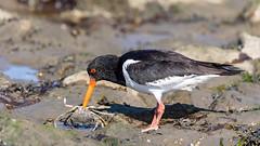 """Austerfischer (Oystercatcher) mit """"fetter Beute"""" (oliver_hb) Tags: eidersperrwerk nordsee nordfriesland vogel austernfischer"""