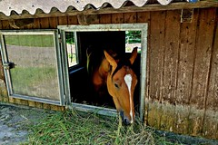 GERMANY, Tiere im Stall, 76414/10417 (roba66) Tags: tier tiere animal animals creature fauna stall pferd horse cheval chevaux caballo trabalho roba66