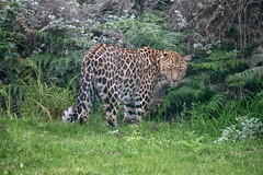 Leopard (zenseas) Tags: africa workingholiday westerncape southafrica pantheraparduspardus workingvacation rescued volunteer leopard plettenbergbay thecrags vacation sanctuary holiday tenikwa