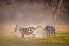 Beauty of The Nature (asifsherazi) Tags: zebra action lakenakuru asifsherazi kenya wildlife zebraaction pakistaniwildlifephotographer