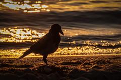 hooded crow #3 (Stefan A. Schmidt) Tags: mecklenburgvorpommern deutschland de corvuscornix nebelkrähe pentaxart
