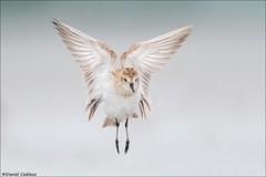 Semipalmated Sandpiper Wing Flap (Daniel Cadieux) Tags: sandpiper semipalmatedsandpiper peep shorebird fly flying flight wingflap angel ottawa ottawariver wings levitate