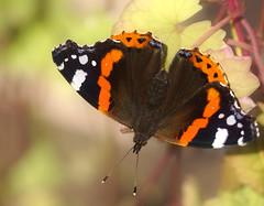 Atalanta (Vanessa atalanta) (maar73) Tags: atalanta vanessaatalanta butterfly vlinder maar73 macro summer flora fauna nature