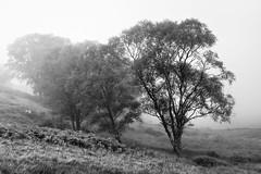 Misty Trees (amcgdesigns) Tags: andrewmcgavin trees blackandwhite silverefex eos100d misty scottishweather scotland landscape scottishlandscape