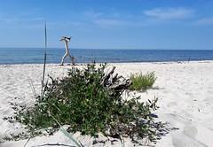 Jahrhundertschritt 2018 (w.friedler) Tags: strand beach meer sea ostsee balticsea baum tree skulptur sculpture
